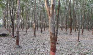 ขายสวนยาง จ.จันทบุรี เนื้อที่ 10 ไร่ ปลูกยางเต็มพื้นที่ รายได้เดือนละ 3 หมื่นกว่าบาท